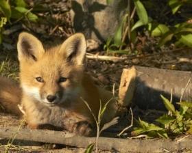 fox_kit_980x500