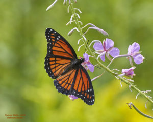 The day was hot and humid and I saw this beautiful butterfly and its friend on our forest road.